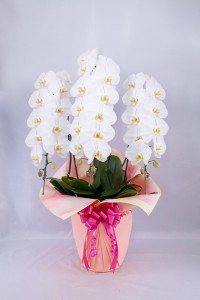 orchid_img002